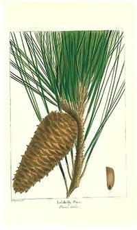 Loblolly Pine.  Pinus toeda.