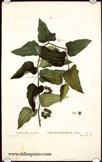 Smilax excelsa. Salsepareille elevee. by  P.J.  (illus).  Mixelle the Elder  (engraved by) SMILAX) Redoute - Ca. 1801- 1819. - from oldimprints.com and Biblio.com