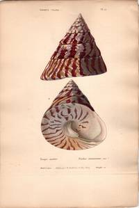 Ten French Hand-Colored Shell plates from Fischer and Keiner's Species General et Iconographie des Coquilles Vivantes