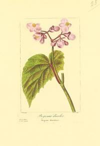 Begonia discolor.  Begone discolore.