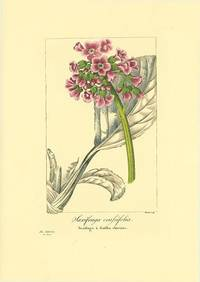 Saxifraga crassifolia.  Saxifrage a feuilles charnues.