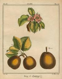 """Bezy de Quessoy, Plate XXIX,  from """"Traite des Arbres Fruitiers"""""""