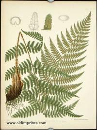 Aspidium Rigidum, Var. Argutum, D. C. Eaton