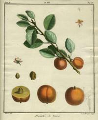 "Abricotee de Tours, Plate XIII,  from ""Traite des Arbres Fruitiers"""