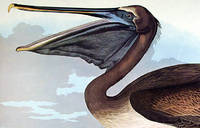 """Brown Pelican. From """"The Birds of America"""" (Amsterdam Edition)"""