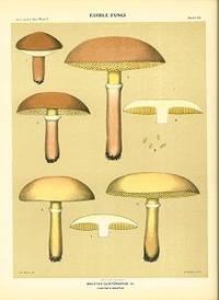 Edible Fungi.  Boletus Clintonianus Pk. Clinton's Boltus