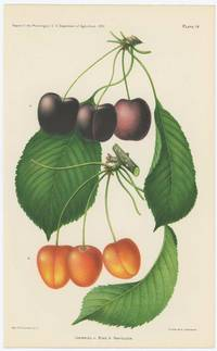 Cherries: a. Bing; b. Napoleon.