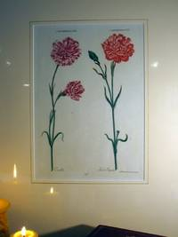Plate 91. Caryophyllus XII, XIII- Camilla, Feu de Japan