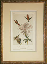A Ruff-Necked Hummingbird by Audubon