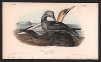 Common Gannet, Plate 425