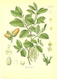 Quercus Suber L