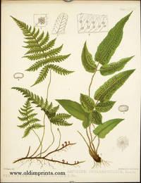 Phegopteris Polypdiodes, Fee. Aspidium Juglandifolium, Kunze