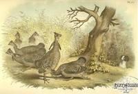 Plate LV Pinnated Grouse- Prairie Hen