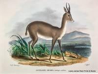 Antilope Araba. Antilope arabica [Gazelle]