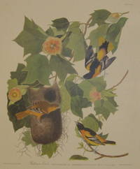 Baltimore Oriole. Icterus Baltimore. Daud, Adult Male, 1. Male two years old, 2. Female, 3. Tulip Tree Liriodendron tulipifera [Havell 12]