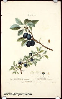 Prunus Spinosa. Prunier epineux. Prunier de Saint - Julien. by  P.  (illus).  Mlle. Duclos (engraved by) PLUMS) Bessa - Ca. 1801- 1819. - from oldimprints.com and Biblio.com