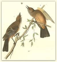 Pl. 59 Say\'s Flycatcher  The Birds of America,