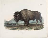 American Bison or Buffalo ... Male