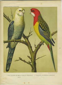 Pale Headed or Mealy Rosella Parrakeet; Rose Hill or Rosella Parrakeet.  Chromolithograph