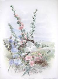 Chicory.  Cichorium Intybus