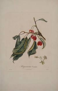 Bigarreau Commun (Bigarreau Cherry). Color engraving