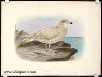 Glaucous Gull. Immature