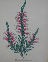 A MAGNIFICENT COLLECTION OF NINETEENTH CENTURY BOTANICAL WATERCOLOUR S OF SOUTH AFRICAN HEATHERS (ERICA SPP.)