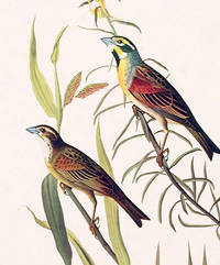 Black-throated Bunting. From The Birds of America (Amsterdam Edition)