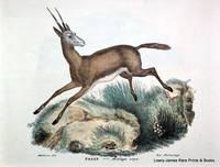 Pasan. Antilope oryx [Antelope]