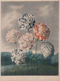image of A Group of Carnations
