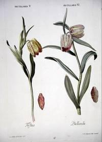 HORTUS NITIDISSIMIS ... : Fritillaria V; Festus [and] Fritillaria VI; Bellinde (print)