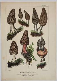Morchella Conica; Morille conique. Spitzmorchel