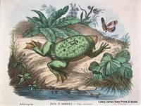 Pipa D'America [Common Surinam toad]