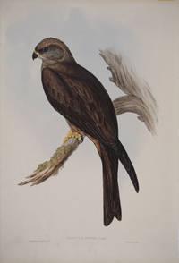 image of Milvus Affinis.  Australian Kite