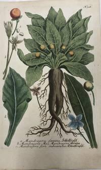 Mandragora foemina; N. 708