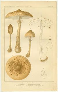 Lepiota Procera Scopoli. A. Embryonic form. 1. Young plant. 2. Cap expanding, umbonate. 3. Mature plant. 4. Top view of cap. 5. Sectional view. 5a, 5b, 5c. cross sections of stem. 6. Spores