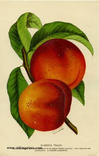 Elberta Peach.