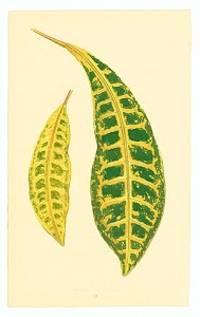 Croton Variegata