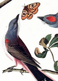 Arkansaw Flycatcher, Swallow-tailed Flycatcher, Says Flycatcher. From The Birds of America (Amsterdam Edition)