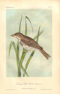 image of The large billed Marsh Sparrow: Ammodromus rostratus
