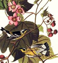 Black & Yellow Warbler. From The Birds of America (Amsterdam Edition)