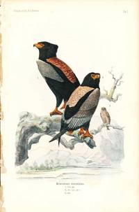 Bird print - Helotarsus ecaudatus (Plate II ONLY) from Ornithologie Nordost-Afrika's
