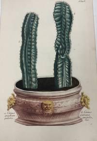 Cereus quadrangularis, Cereus quinqueangularis; N.356