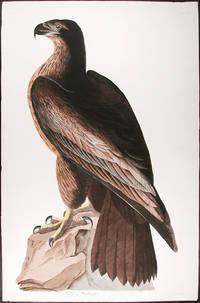 Bird of Washington. Falco Washingtonii. Aud. Male