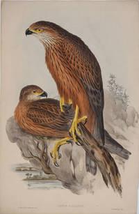 image of Astur Radiatus.  Radiated Goshawk