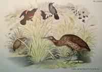 Plate XXXIII The American Bittern (Botaurus lentiginosus); The Red-winged Starling [Blackbird] (Agelaius phoeniceus)