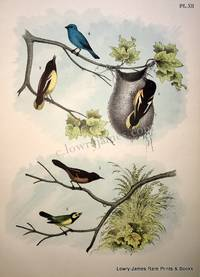 Plate XII The Baltimore Oriole (Oriolus-Iceterus Baltimore); The Orchard Oriole (Oriolus-Icterus Spurius); The Indigo Blue Bird (Cyanospiza cynea); The Hooded Fly-catcher (Musicapa-Setophaga mitrata).