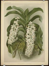 Saccolabium Giganteum