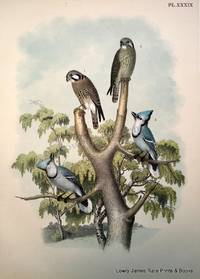 Plate XXXIX The Sparrow Hawk or Rusty-crowned Falcon (Falco sparverius); The Blue Jay (Cyanurus cristatus)