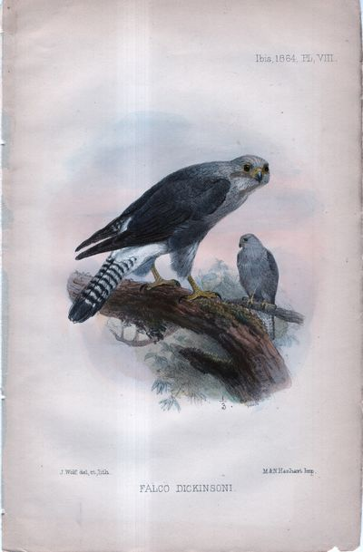 1864. Unbound. Fine. Unbound. Handcolored lithograph of two kestrels. Fine condition. Suitable for f...